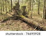 Uprooted Trees. Fallen Tree In...