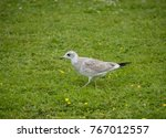 juvenile seagull at... | Shutterstock . vector #767012557