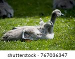 juvenile swan with short vings... | Shutterstock . vector #767036347