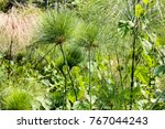 papyrus sedge   scientific name ... | Shutterstock . vector #767044243