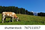 Cow On Pasture  Austria