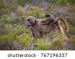 mother cape baboon with baby... | Shutterstock . vector #767196337
