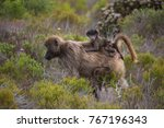 mother cape baboon with baby... | Shutterstock . vector #767196343