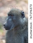 cape baboon interested looking... | Shutterstock . vector #767196373