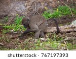 cape baboon searching and... | Shutterstock . vector #767197393