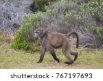 cape baboon walking along the... | Shutterstock . vector #767197693
