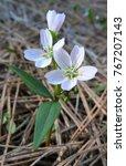 Small photo of Spring Beauty - Claytonia lanceolata at Leavenworth Ski Hill, Washington