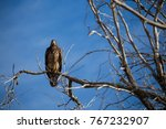 juvenile bald eagle in tree | Shutterstock . vector #767232907