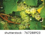 white wine grapes orange n.s.w. ... | Shutterstock . vector #767288923