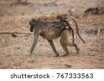 chacma baboon mother and... | Shutterstock . vector #767333563