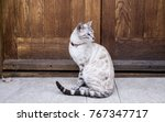white bengal cat  a domestic... | Shutterstock . vector #767347717
