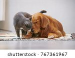 Stock photo golden retriever and british short cat 767361967