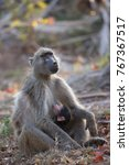 baby chacma baboon suckling by... | Shutterstock . vector #767367517