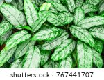 close up dumb cane leaves or... | Shutterstock . vector #767441707