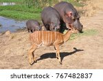 Hippo Family Eating While A...