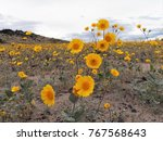 Yellow desert wildflowers during a super bloom season - near Amboy Crater in California