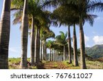 avenue of palm trees and... | Shutterstock . vector #767611027