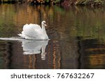 Graceful White Swan Swimming I...