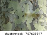Planetree Bark Of White And...