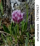 Small photo of Alpine Clover - Mountain Wildflower