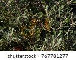 yellow flower cones of banksia...   Shutterstock . vector #767781277