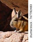 Small photo of Southern viscacha (Lagidium viscacia) sunbathing