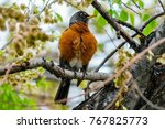 American Robin Sitting In A...