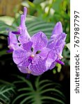 Small photo of Purple Orchid , Orchid