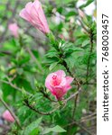Small photo of Hibiscus or Malvaceae grow in tropical garden in Tenerife, Canary Islands, Spain. Beautiful blooming rose mallow flower background.
