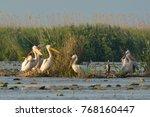 white pelicans flock | Shutterstock . vector #768160447
