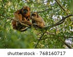 Small photo of Howler monkeys really high on a giant tree in brazilian jungle. South american wildlife. Alouatta. Beautiful and rare monkey in the nature habitat.