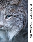 amazing canadian lynx in the...   Shutterstock . vector #768160723