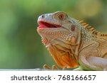 Happy Smile Iguana