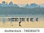 cranes flock at sunrise lake....   Shutterstock . vector #768282673
