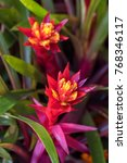 Small photo of Orange Flower in the garden [Aechmea fasciata]