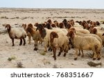 Flock Of Sheep Grazing In The...