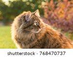 adorable fluffy cat in autumn.... | Shutterstock . vector #768470737