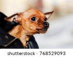 Small Young Dog Chihuahua Bitc...