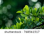 small green leaves are arranged ... | Shutterstock . vector #768561517