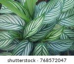 calathea zebrina  the zebra... | Shutterstock . vector #768572047