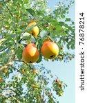 Pear Tree. Pears On The Tree....