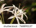 white swamp lily flower crinum...   Shutterstock . vector #768890137