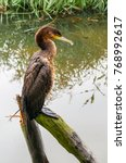 Small photo of An young shag is sitting and resting on a pole while overlooking the water.