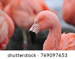 Portrait Of A Chilean Flamingo