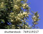 Small photo of Flowers of a Flat-top Acacia (Acacia abyssinica)