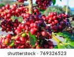 coffee bean on coffee tree in... | Shutterstock . vector #769326523
