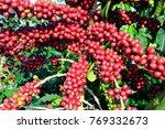 coffee bean on coffee tree in... | Shutterstock . vector #769332673