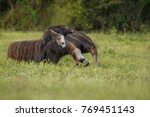 amazing giant anteater walking... | Shutterstock . vector #769451143