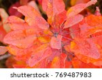 bright red leaves of a plant.... | Shutterstock . vector #769487983