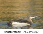Small photo of Black Throated Loon or Diver (Gavia acrtica) on water